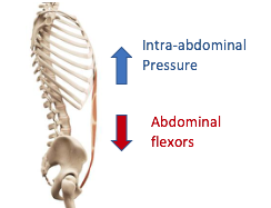 spine showing muscles for spinal stability