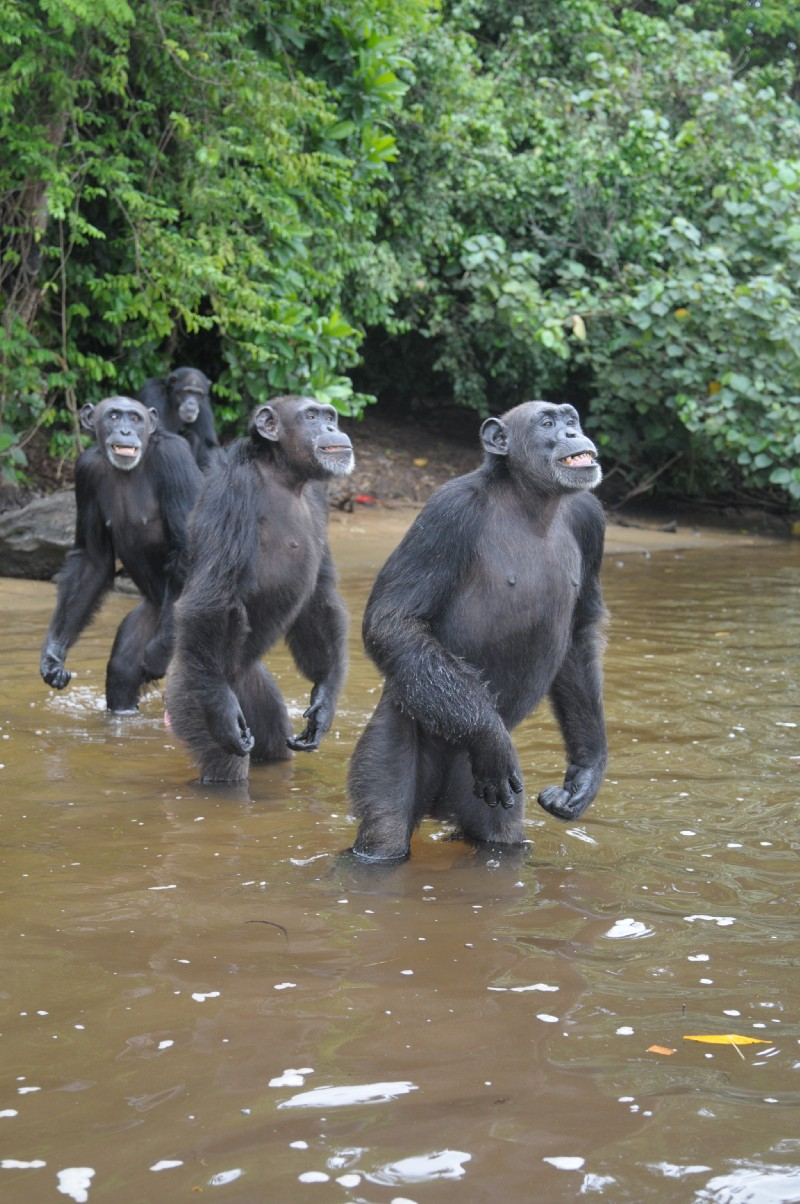 How Much Water Do Chimpanzees Drink A Day
