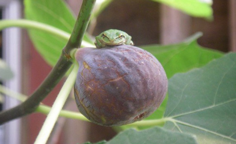 Figs planted in food forest