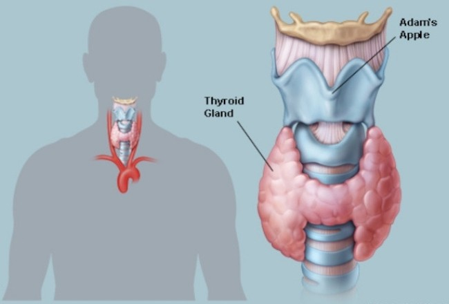 Thyroid-Glands