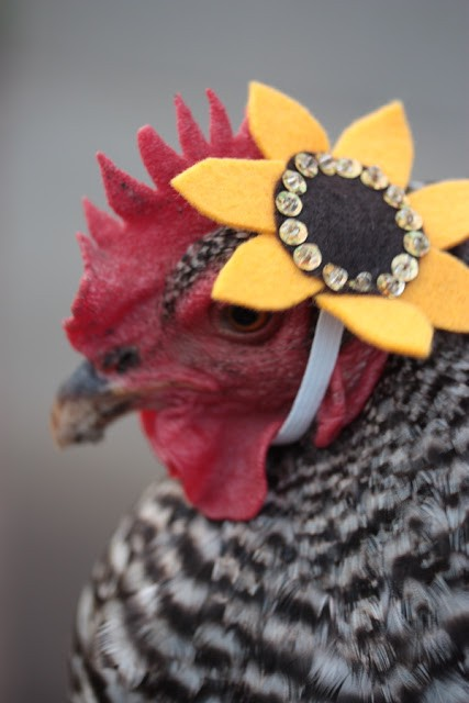 Chicken with a hat, the loopy revolution