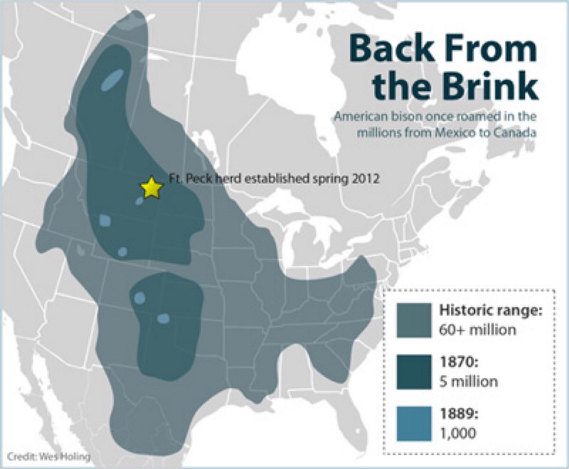 near extinction of north american bison What really caused the near extinction of the american bison in hay camp   the american bison ranged from northern mexico to southern.