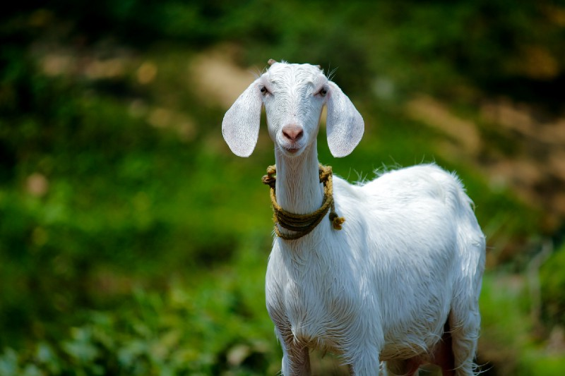 goat looking at you