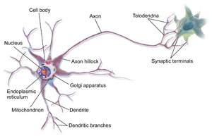 Biological Neural Circuit