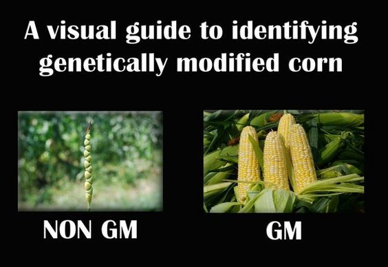 8 Reasons GMOs are Bad for You
