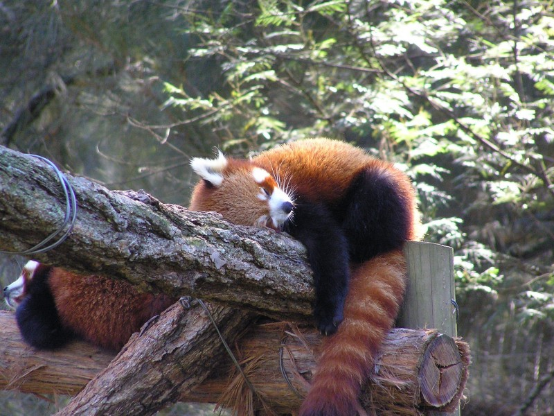 Sleepy red panda-  Learn To Code