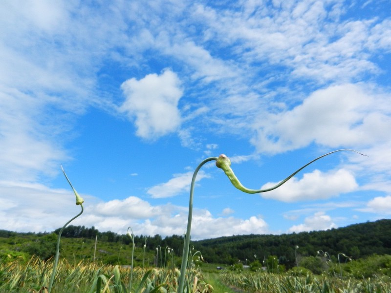 Garlic scapes growing in permaculture garden