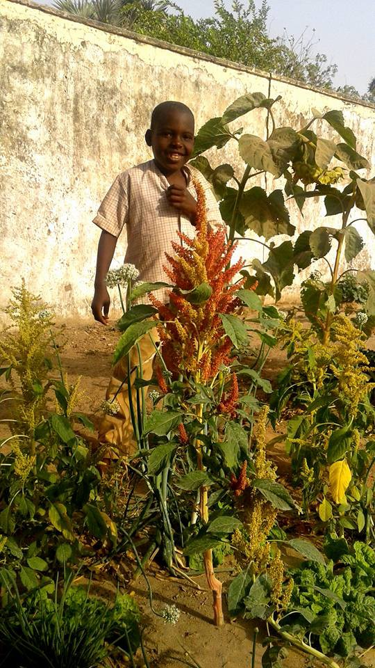 Sunflowers in Maiduguri, alongside more traditional plants that add to the soup and salads in a hungry state.