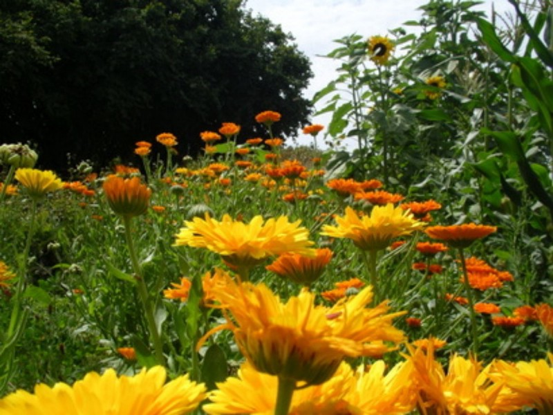 Marigolds used in companion planting