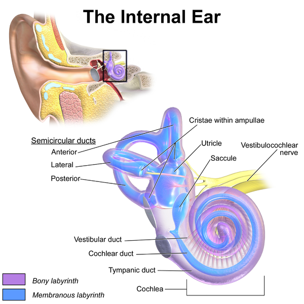 How to clear your plugged blocked ears james taylor loftus medium left the outer pinna or auricle center the middle ear right the inner or internal ear credits at end of article ccuart Image collections