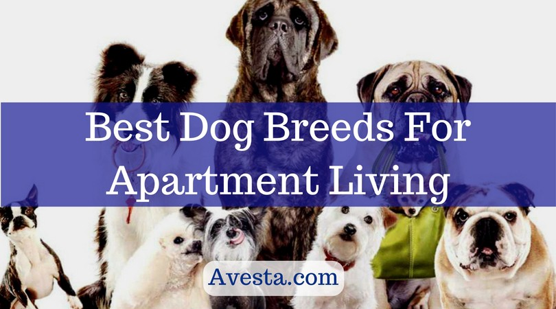 best dog breeds for apartment living avesta medium