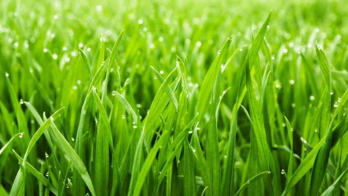 why is the grass green on Signs of summer lawn stress when summer sizzles, a lawn can easily fizzle, trading lush green for crispy brown shades the causes of brown grass vary.