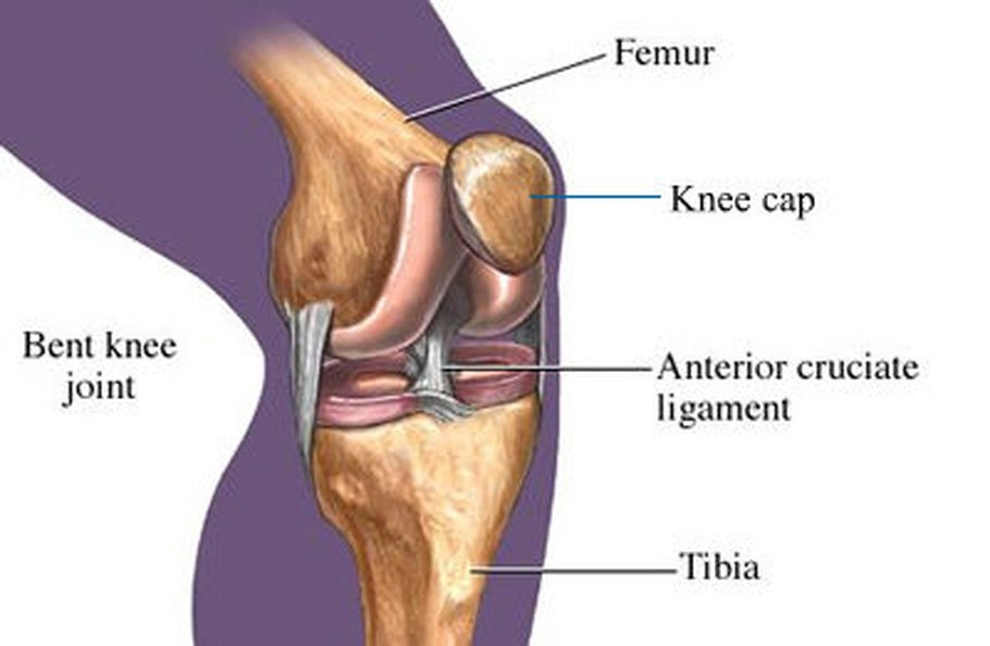 The Normal Knee Joint The Joint Clinic Medium