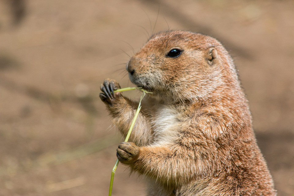 Prairie Dog Chatter The Science Behind A New Language