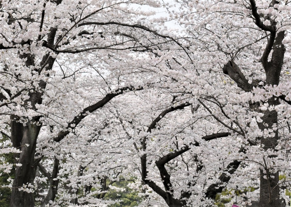 cherry blossoms in full bloom in April