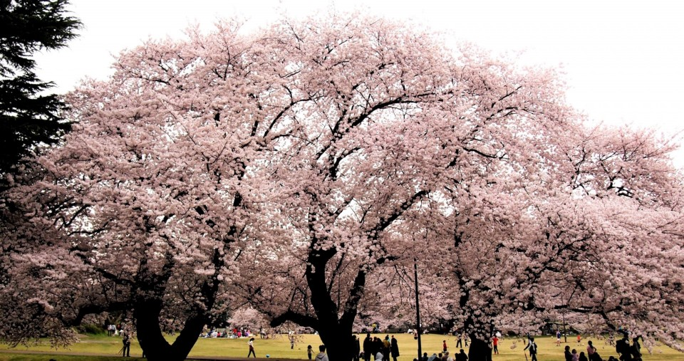 cherry trees at the park in Tokyo