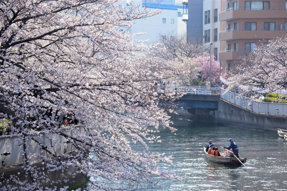 Sightseeing cruise for cherry blossoms