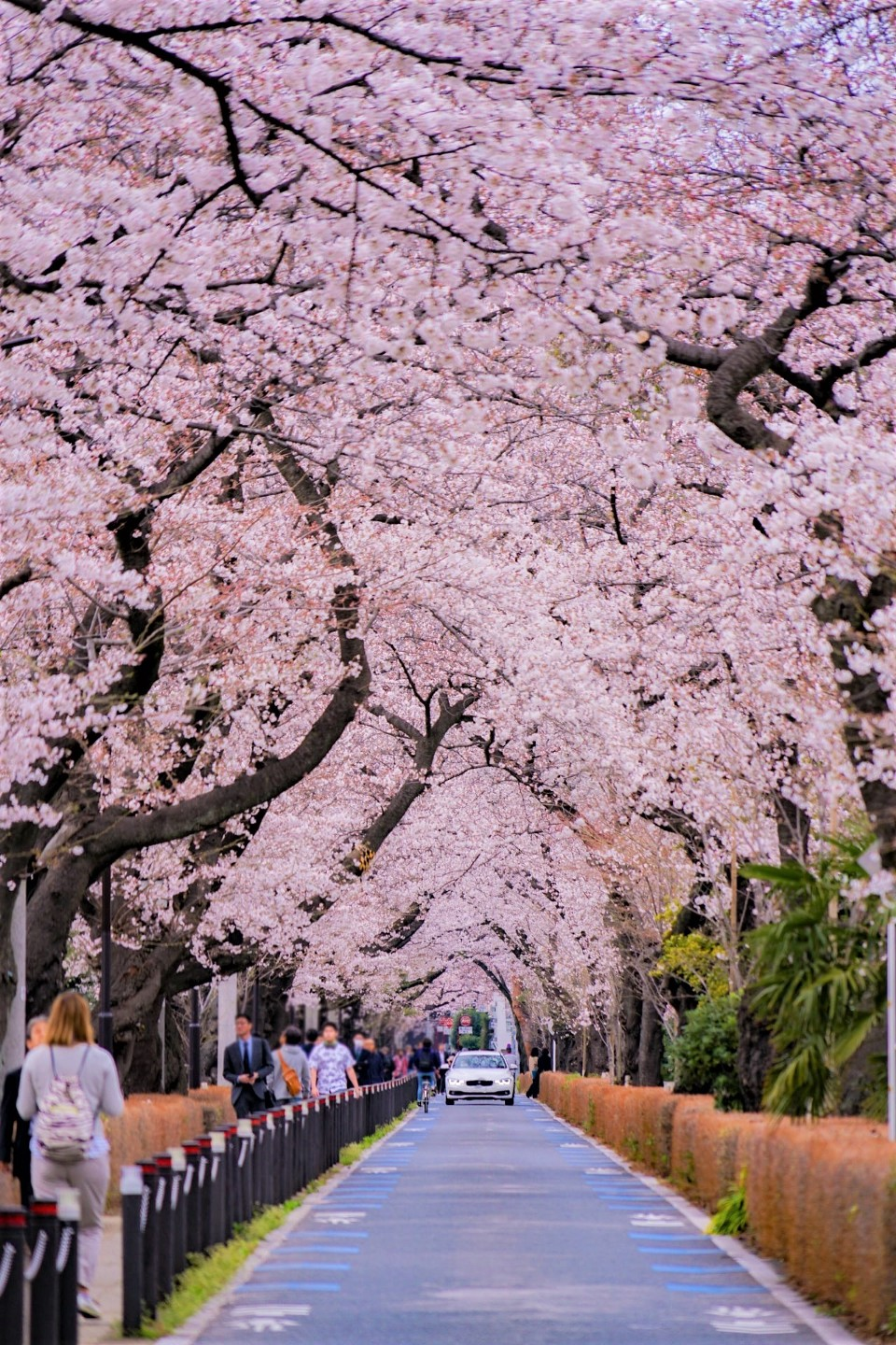 Pink tunnel formed by cherry blossoms