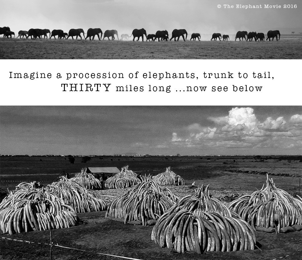 What Does Kenyas Ivory Burn Mean For Ivory Bans Elephants Count